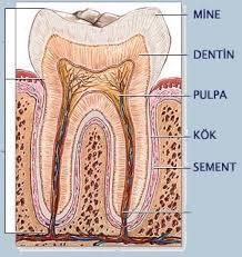 dişlerin yapı maddesii