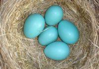 mavi yumurta